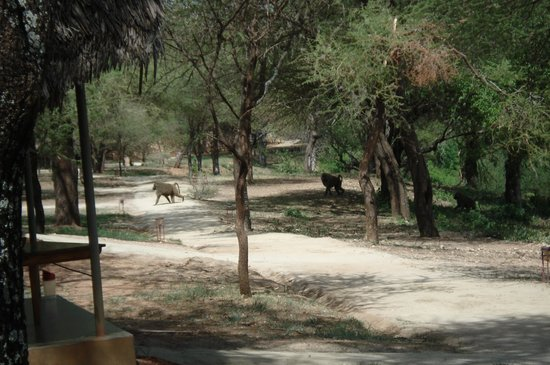 Tarangire Safari Lodge : Baboons travelling through