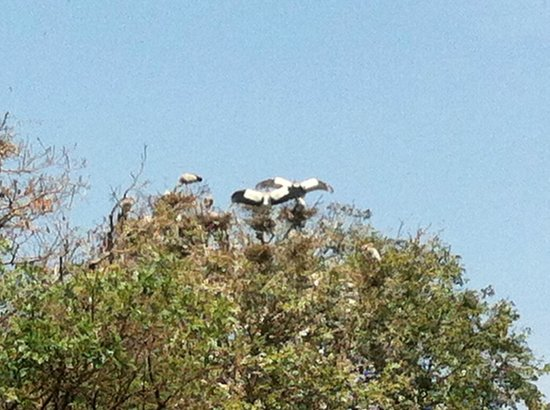 Cambodian Tour Guide Services: wild storks shading chicks