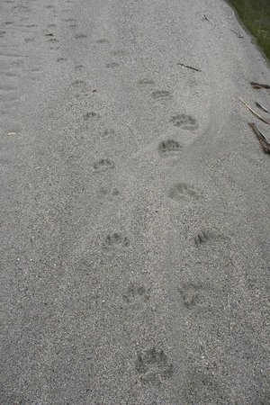 Lardeau River Adventures: Grizzly Bear & Wolf Prints. Lardeau River