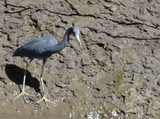Tico Tours Guanacaste: Little blue heron
