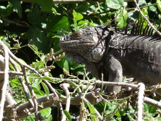Tico Tours Guanacaste: Iguana