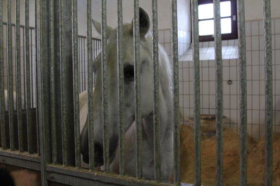 Spanische Hofreitschule Bundesgestüt Piber: Stallion in stall