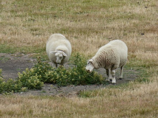 Alpine View Lodge: Sheep