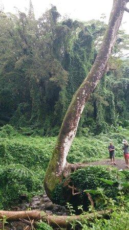 Manoa Falls: arbres