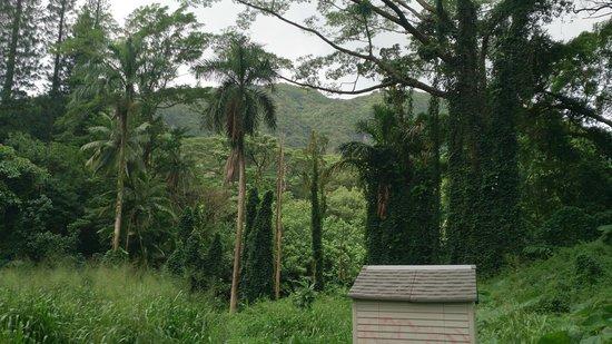 Manoa Falls: végétation