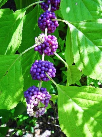 Marie Selby Botanical Gardens: beauty berry