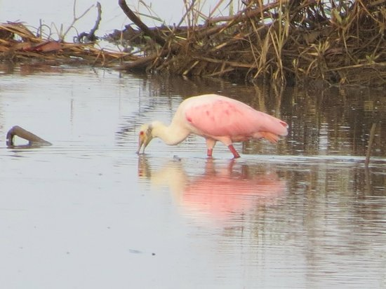 Manuel Antonio Expeditions: Roseate Spoonbill in the Mangroves