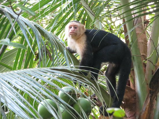 Manuel Antonio Expeditions: Capuchin Monkey in the mangroves