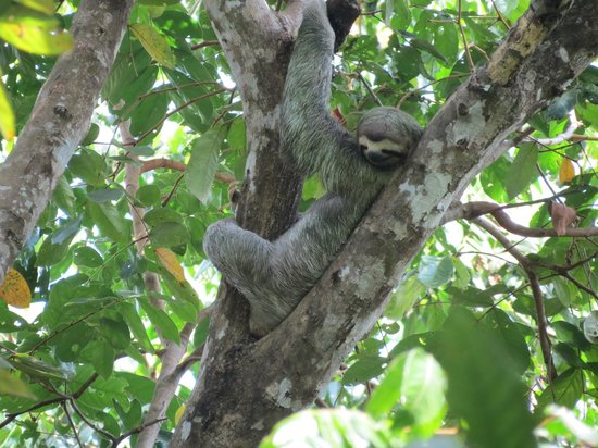 Manuel Antonio Expeditions: Sloth in the park