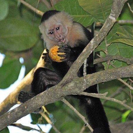 Arenas del Mar Beachfront & Rainforest Resort : Hotel wildlife - capuchin monkey