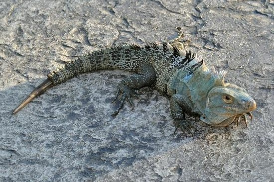 Arenas del Mar Beachfront & Rainforest Resort : Hotel wildlife - iguana