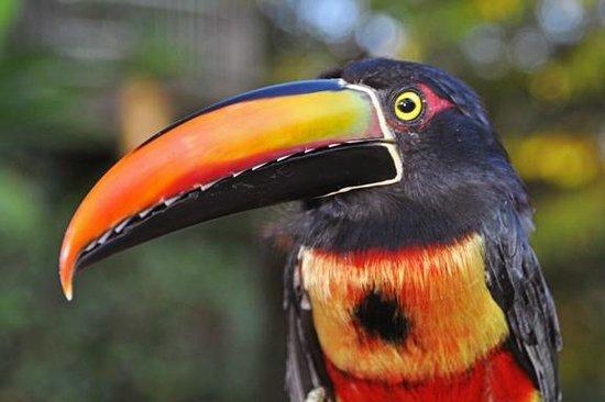 Arenas del Mar Beachfront and Rainforest Resort, Manuel Antonio, Costa Rica: Hotel wildlife - looks like a toucan