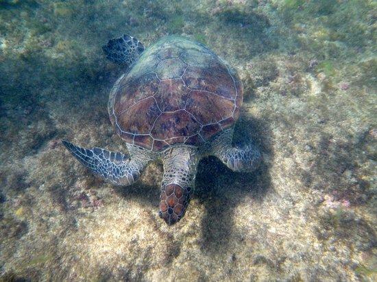 Baia do Sueste : Tartaruga Marinha