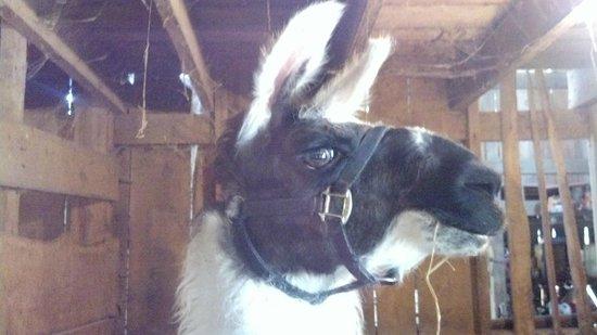 Circle G Ranch: Wild Animal Park & Camel Safari: Llama