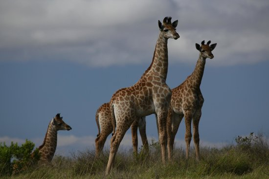 Kariega River Lodge: Giraffe on game drive