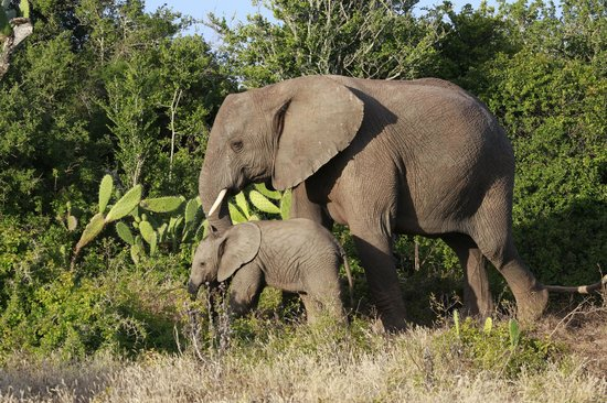 Kariega River Lodge: Elephants in Prickly Pear forest