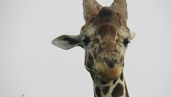 Anantara Sir Bani Yas Island Al Sahel Villa Resort : Giraffe on safari drive