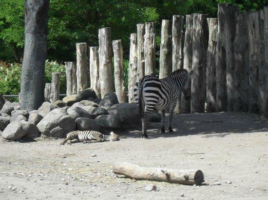 Zebras in Copenhagen Zoo