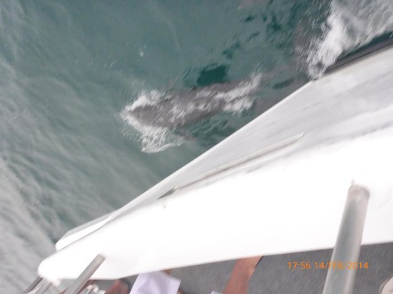 Jervis Bay Wild Cruises: One of several dolphins bow riding the boat