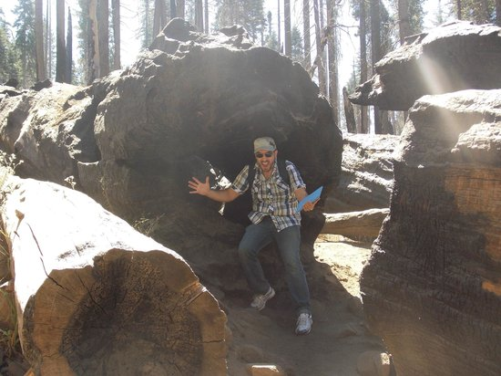 Yosemite Valley: Sequoia abbattuta