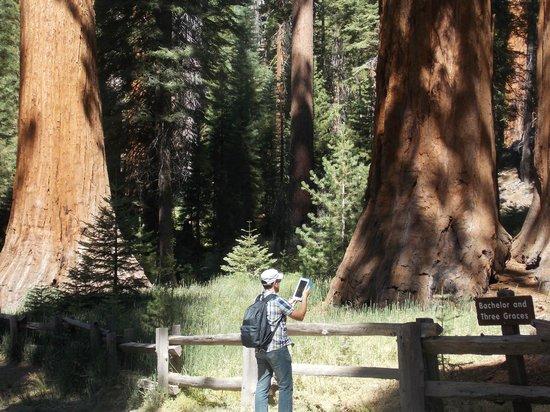 Yosemite Valley: Sequoie