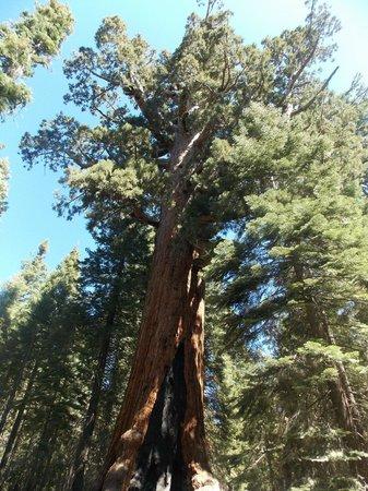 Yosemite Valley: Sequoia