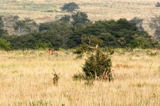 F. King Tours and Safaris - Day Tours: there is a lion in there somewhere!