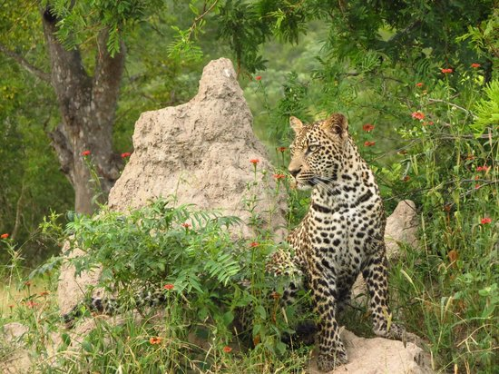 Cheetah Plains : First leopard sighting