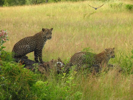 Cheetah Plains : Leopard brothers