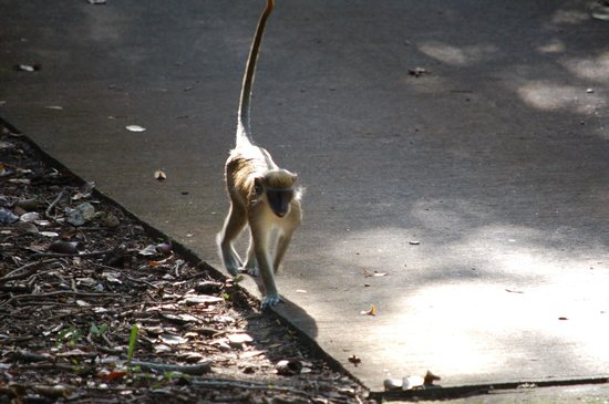 Four Seasons Golf Course : Monkey on the move