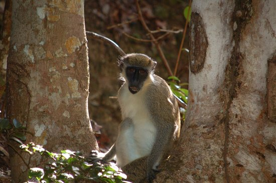 Four Seasons Golf Course : Monkey at rest