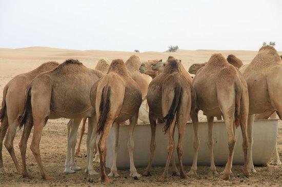 Emirates Tours and Safaris: At the camel farm