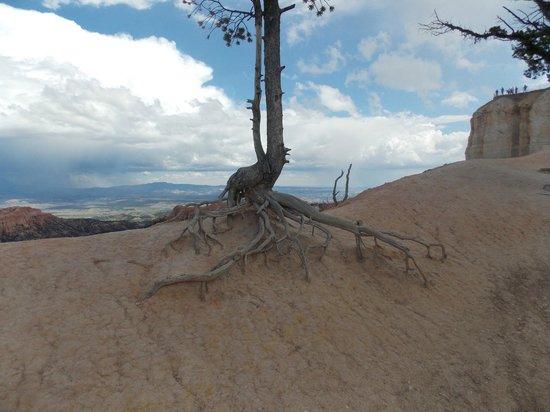 Bryce Canyon National Park: Un albero che sa cosa vuol dire resistere...