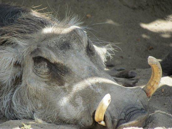 Kansas City Zoo : Wart hog basking in the sun