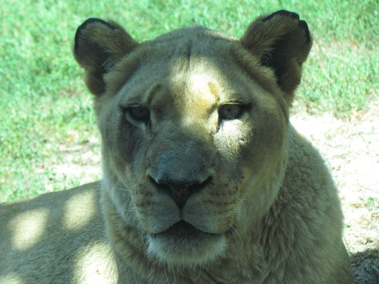 Kansas City Zoo : Female lion