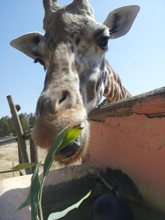 Friguia Park: giraffe