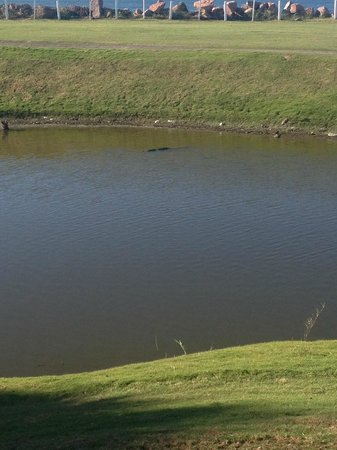 Secrets Vallarta Bay Resort & Spa: Crocodile in water hazard at Marina Vallarta Golf Course