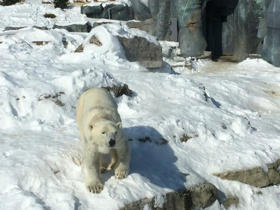 Toronto Zoo : Adult polar bear