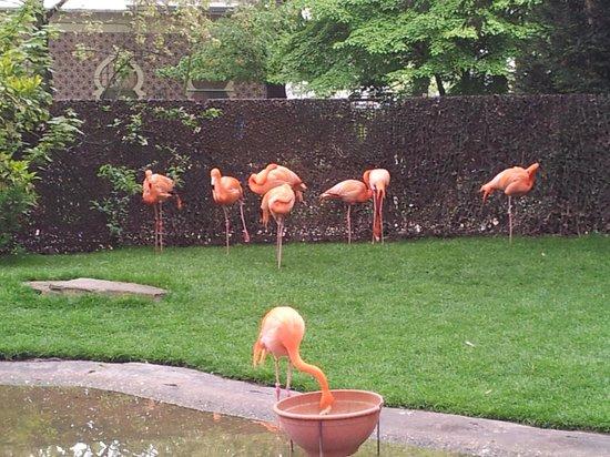 Antwerp Zoo (Dierentuin): фламинго