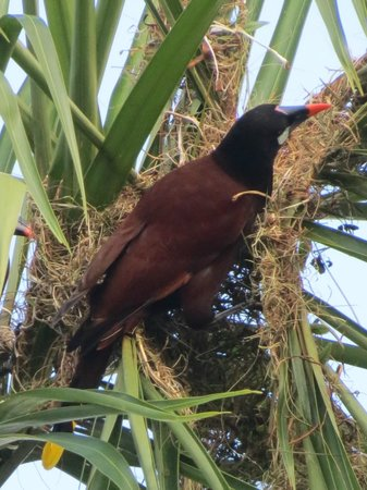 Villa Decary : Montezuma Oropendola at nest