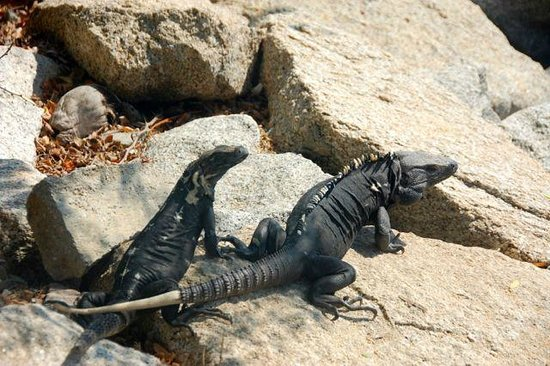 Las Brisas Huatulco: Iguanas like it here.