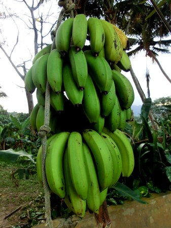 Ceiba Country Inn : fresh fruit grown on property