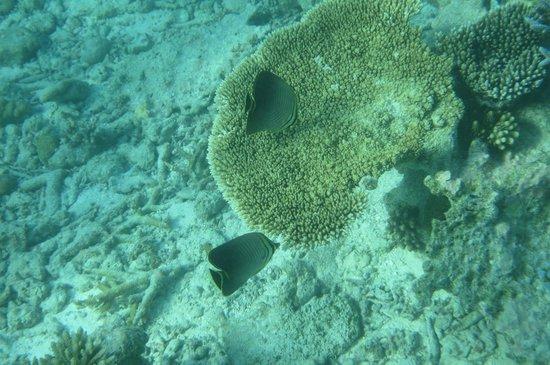 Angsana Ihuru : House reef
