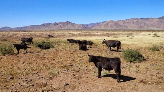 Hideout Ranch: The cattle