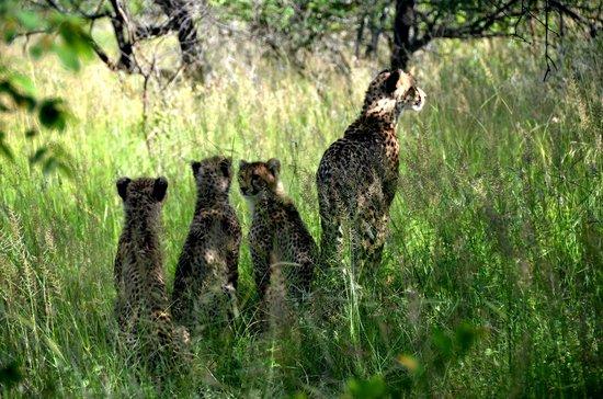 Chisomo Safari Camp: 5 meter från Geopardmamma med 3 ungar
