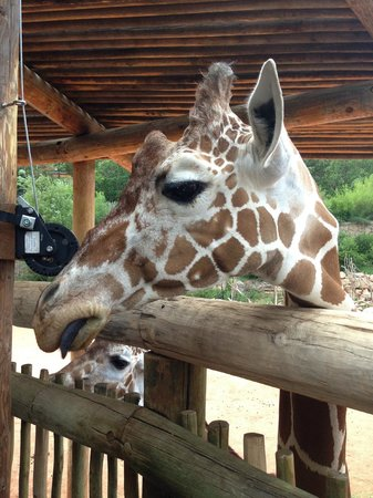 Cheyenne Mountain Zoo: you can pet and feed the giraffes!