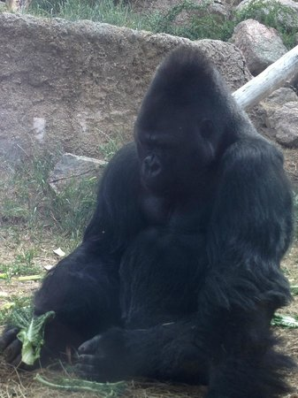 Cheyenne Mountain Zoo: The gorillas have a great outdoor space but frequently stay close to where visitors are!