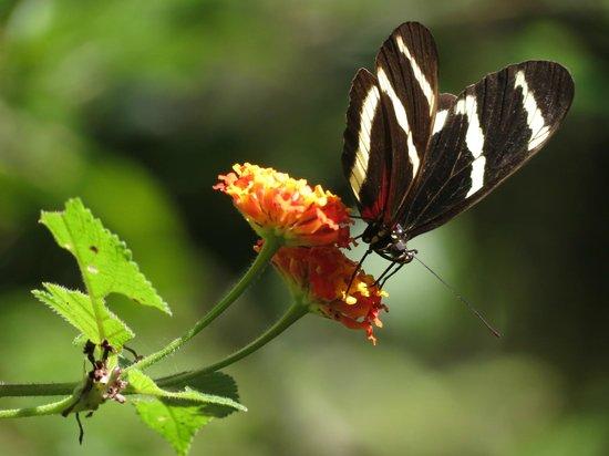 Monteverde Butterfly Garden (Jardin de Mariposas): Great for close ups