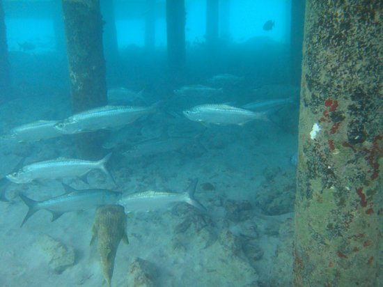 Wyndham Reef Resort : Hello Tarpons!
