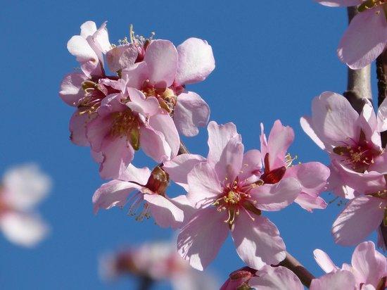 Casa Carrascal: Pink Almond Blossom